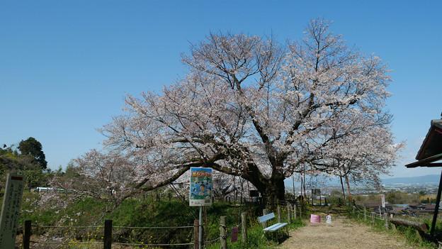 浅井の一本桜/五分咲き (1)