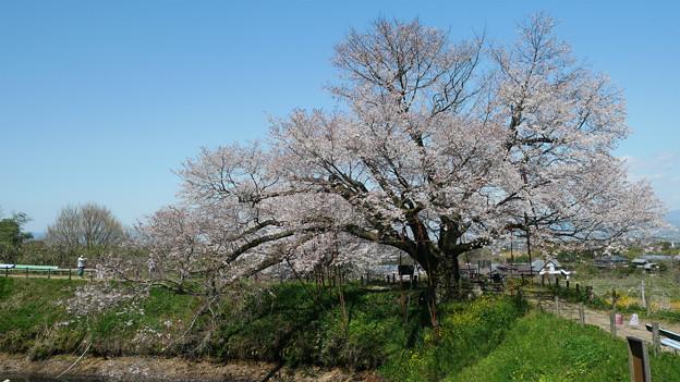 浅井の一本桜/五分咲き (2)