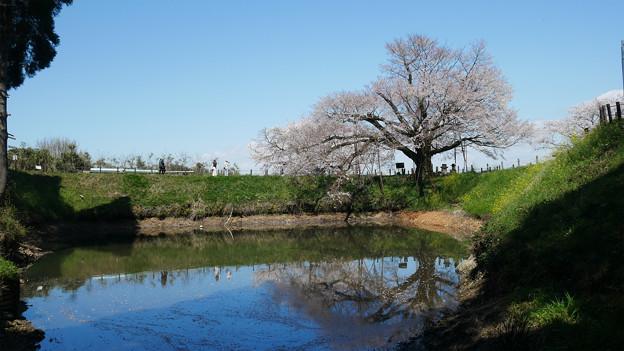 浅井の一本桜/五分咲き (3)