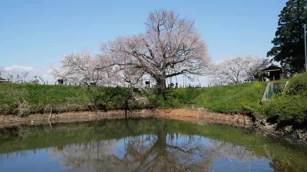 浅井の一本桜/五分咲き (4)