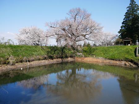 浅井の一本桜/五分咲き (8)