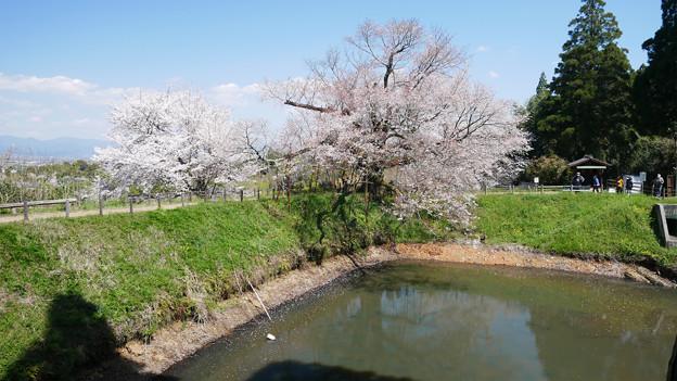 浅井の一本桜/五分咲き (9)