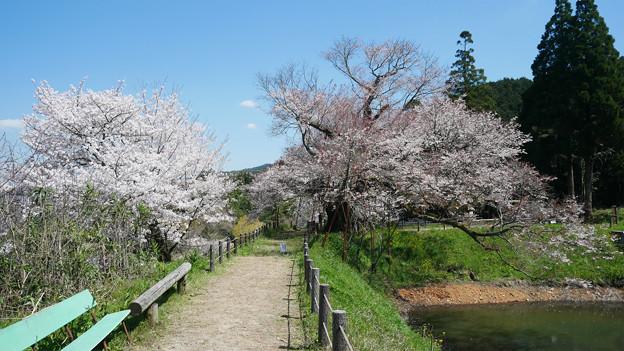 浅井の一本桜/五分咲き (11)