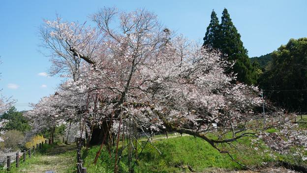 浅井の一本桜/五分咲き (12)