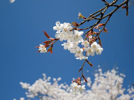 浅井の一本桜/五分咲き (14)