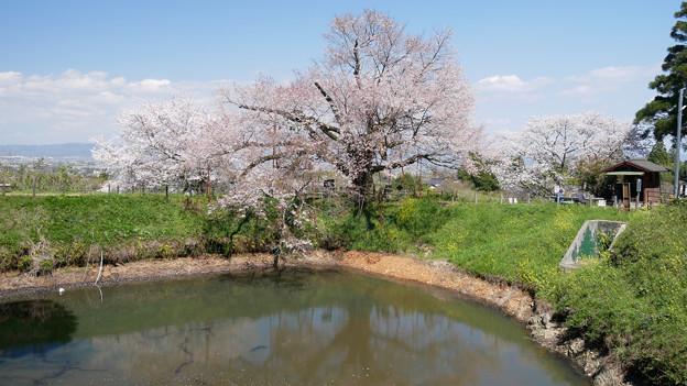 浅井の一本桜/五分咲き (15)