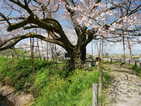 浅井の一本桜/五分咲き (17)