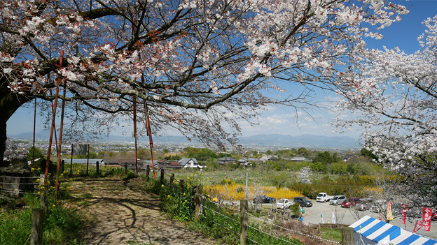 浅井の一本桜/五分咲き (19)