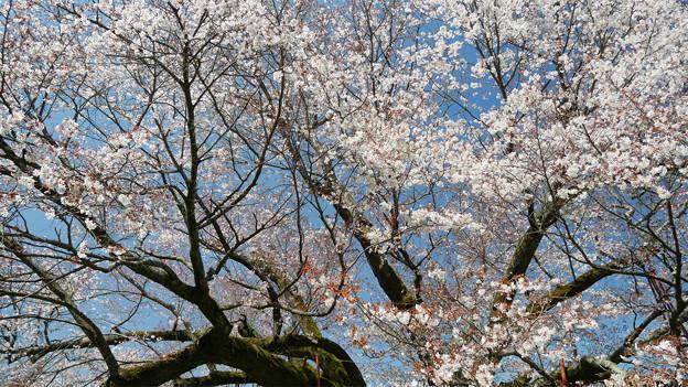 浅井の一本桜/五分咲き (20)
