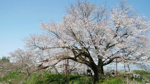 浅井の一本桜/五分咲き (21)