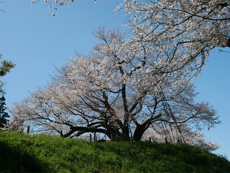 浅井の一本桜/五分咲き (22)