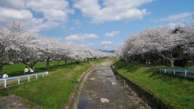 草場川の桜並木@2021 (1)