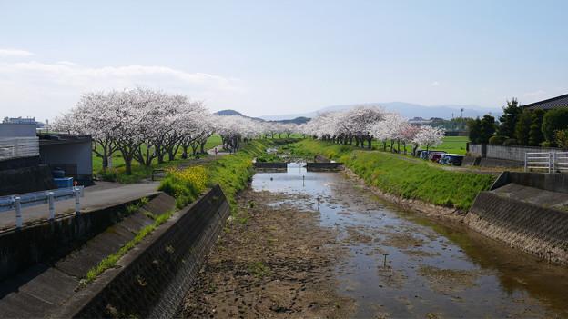 草場川の桜並木@2021 (3) あさお観魚園横から