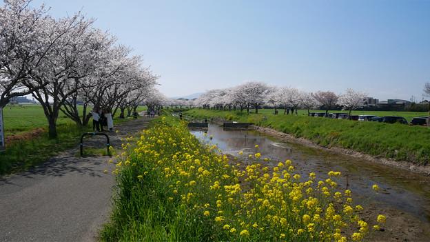 草場川の桜並木@2021 (4)
