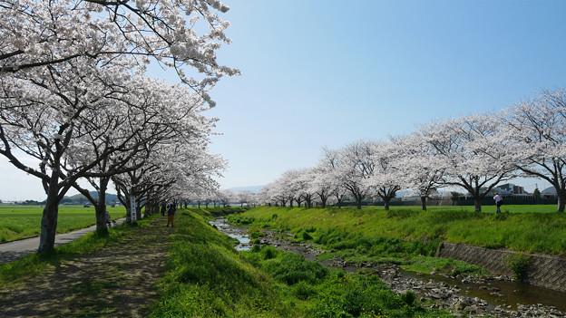 草場川の桜並木@2021 (5)