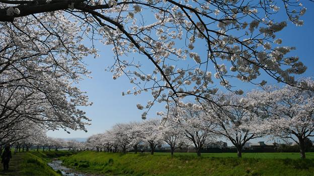 草場川の桜並木@2021 (6)
