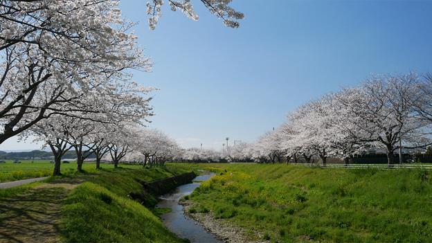 草場川の桜並木@2021 (7)