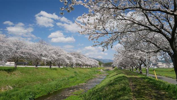 草場川の桜並木@2021 (8) 振り返る