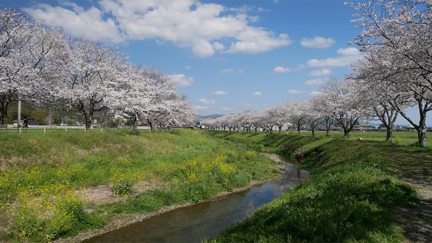 草場川の桜並木@2021 (9) そしてまた振り返る