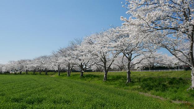草場川の桜並木@2021 (10)