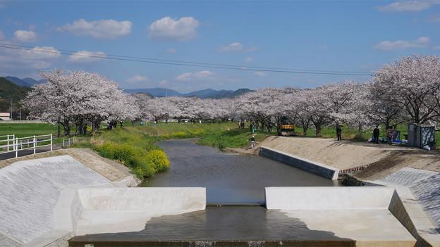 草場川の桜並木@2021 (13)