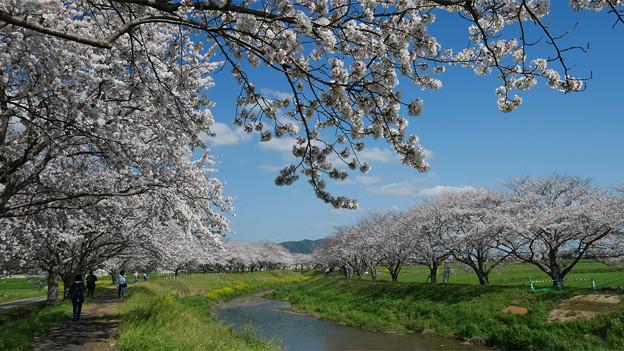 草場川の桜並木@2021 (14)