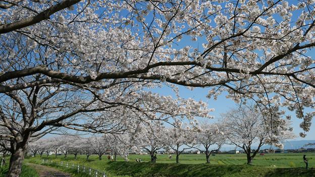 草場川の桜並木@2021 (17)