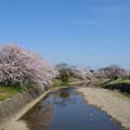 池田川河畔の桜 (1)