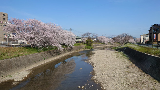 池田川河畔の桜 (2)