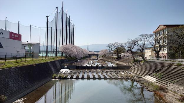 池田川河畔の桜 (3)