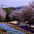 Photos: 火の山トルコチューリップ園