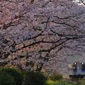 Photo: 朝日と桜