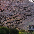 Photos: 朝日と桜