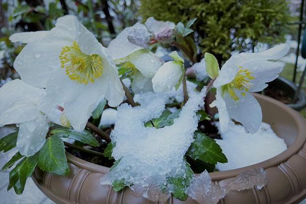Photos: クリスマスローズ 春の雪