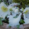 クリスマスローズ 春の雪