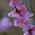 Photos: 八重枝垂れ梅 滴