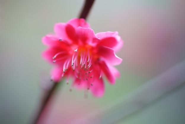 鹿児島紅梅