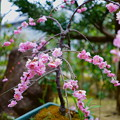 鉢植えの八重枝垂れ梅