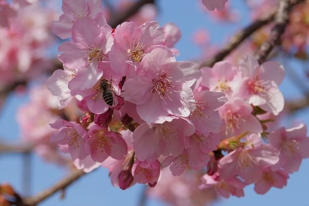 桜にミツバチ