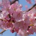 Photos: 桜にミツバチ