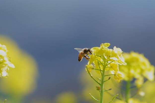 菜の花にミツバチくん