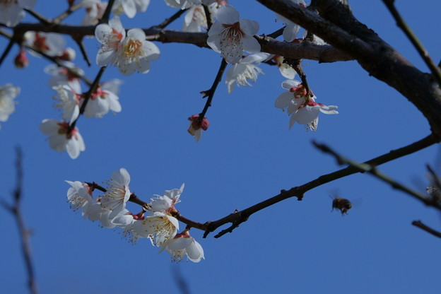白梅にミツバチ ぶ~ん
