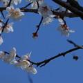 Photos: 白梅にミツバチ ぶ~ん