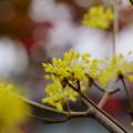 サンシュユが開花