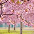 Photos: 満開の河津桜
