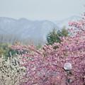 山並みと満開の河津桜