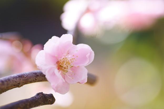 最後の枝垂れ梅