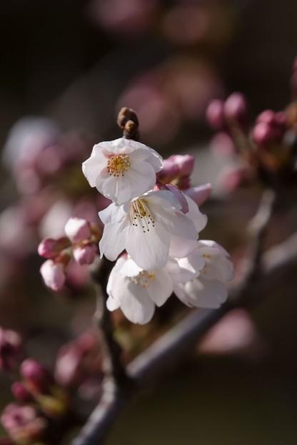 ソメイヨシノが開花