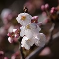 Photos: ソメイヨシノが開花