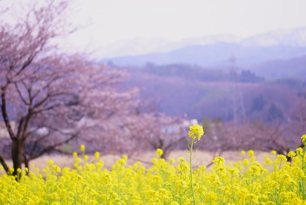 Photos: 菜の花とソメイヨシノ(1)